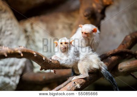 family of small white silvery Marmoset on branch poster