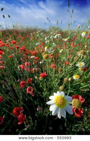 Poppy Field And Daisy