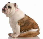 english bulldog sitting with tongue sticking out on white background poster