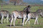 Three zebras grazing and keeping a lookout poster