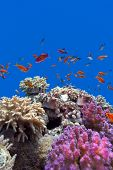 coral reef with soft and hard corals with exotic fishes anthias on the bottom of tropical sea on blue water background poster