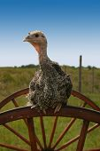 baby turkey sitting ontop of a wheel with blue sky in the background poster