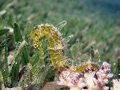 A golden thorny seahorse on acropora coral poster