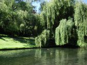 Beautiful park in Christ church new zealand with dense willows poster
