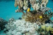 bubble anemone and anemonefish taken in the red sea. poster