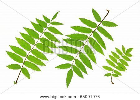 Rowan leaves (Sorbus aucuparia) isolated against white background poster