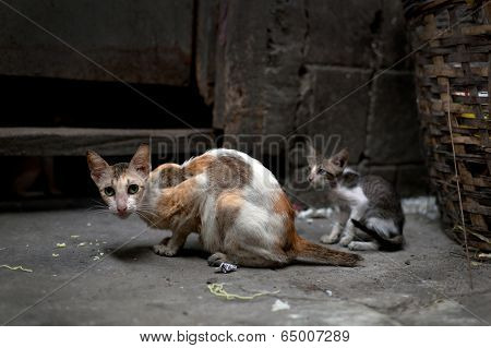 Vagrant Cats.