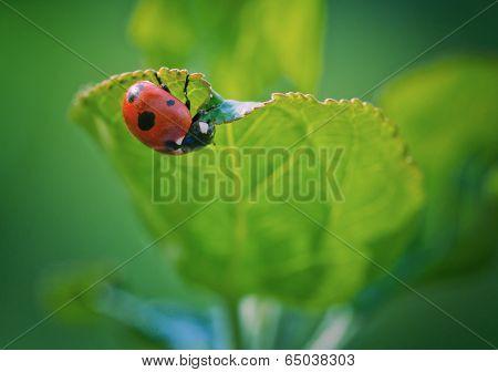 Ladybug On Leaf, Macro Photo