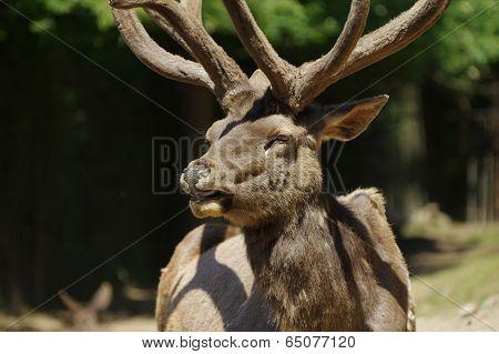 Deer Wapiti Siberian portrait