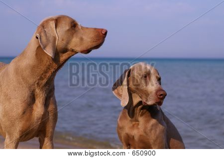 Two Weimaraners poster