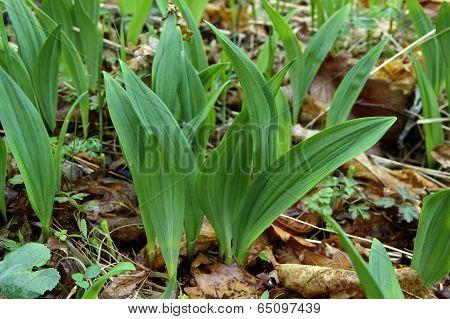 Wild Garlic In Spring Forest