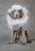 Humorous image of a Weimaraner dog wearing a hat looking like a liege lord poster
