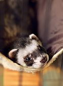 cute ferret lying on its hammock looking to camera poster
