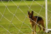 A football net in a very first level with a german shepherd as background poster