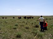 range surveys watched by hungry cows poster