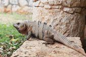 Big iguana resting on stone at Xcaret Natural Park Riviera Maya Mexico poster
