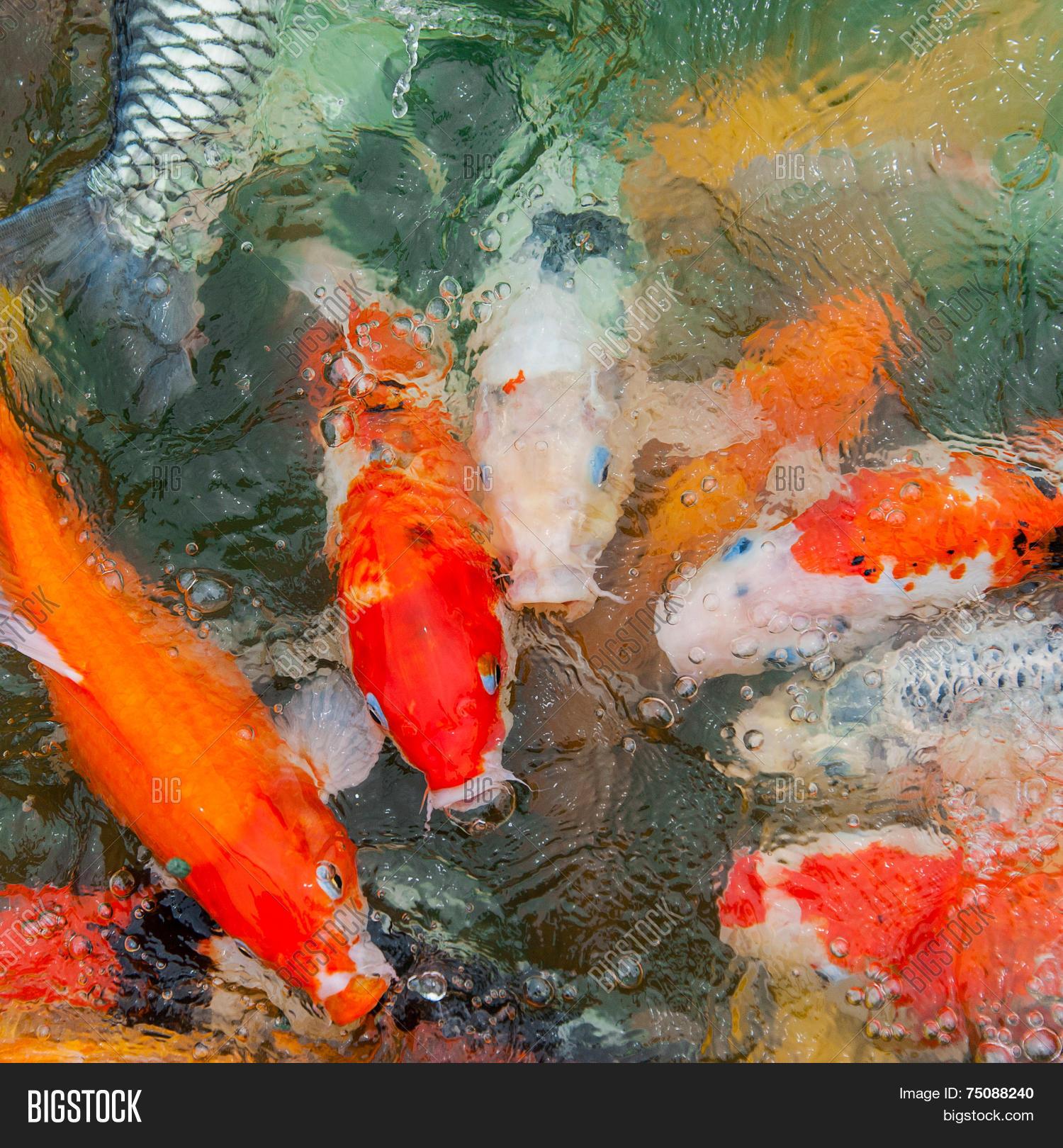 Colorful Koi Carp Image & Photo (Free Trial)   Bigstock
