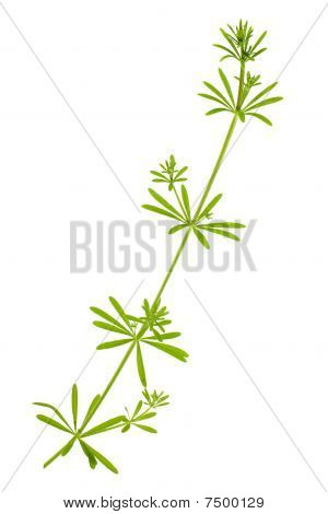 Madder Plant Stem