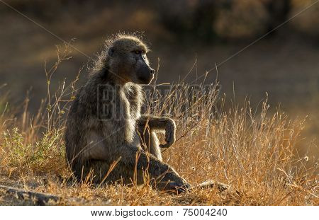 Baboon Sitting At Kruger National Park, South Africa