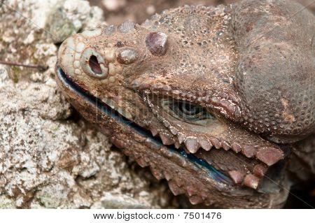 Rhinoceros Iguana (Cyclura cornuta)