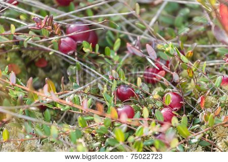 Background of swamp cranberries in wild nature