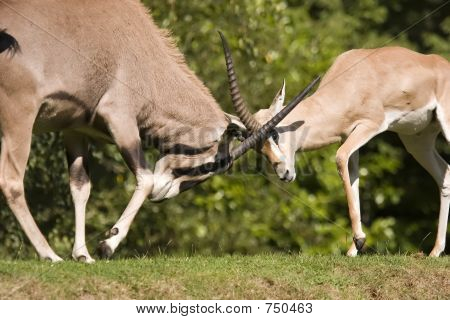 Gazelle Fight