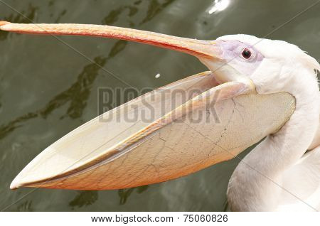 poster of A pelican with wide open beak during feeding at zoo