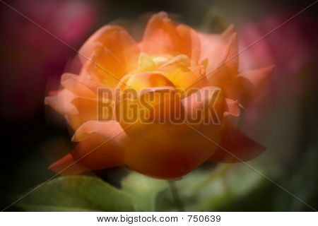 Rose Abstract Design