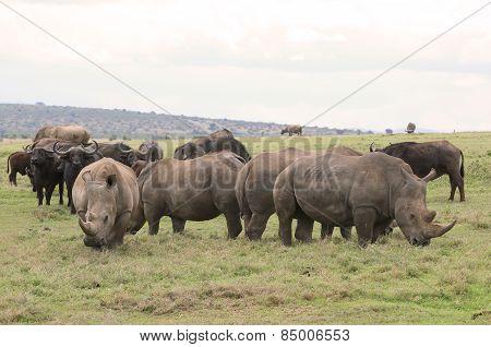 rhinos and buffalos