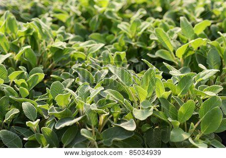 Young Sagebrush Plants