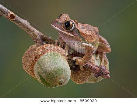 Tree Frog On Acorns
