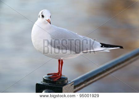 White And Gray Urban Pigeon