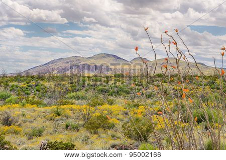 Octillo And Paper Flowers, Chisos Mountain Range, Big Bend National Park, TX