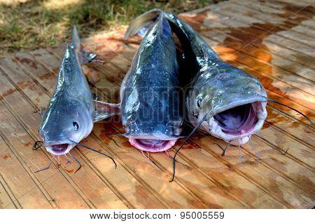 Three catfish