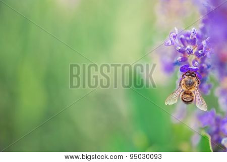 Wild Bee On Lavender