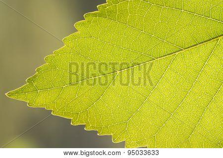 Fragment  green leaf, backlit.