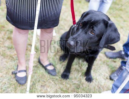 Black Labrador Guide Dog