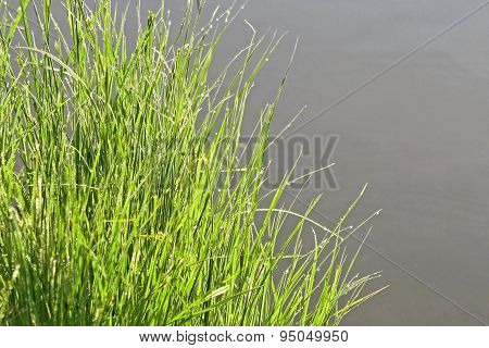 Tall spindly green blades of grass with tiny dew drops after a rain