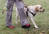 A blind person is led by her golden retriever guide dog during the last training for the dog. The dogs are undergoing various trainings before finally given to the physically disabled people. poster