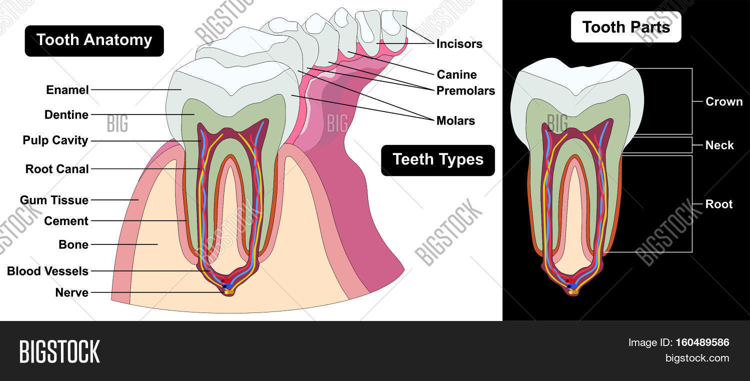 Human Tooth Cross Image & Photo (Free Trial) | Bigstock