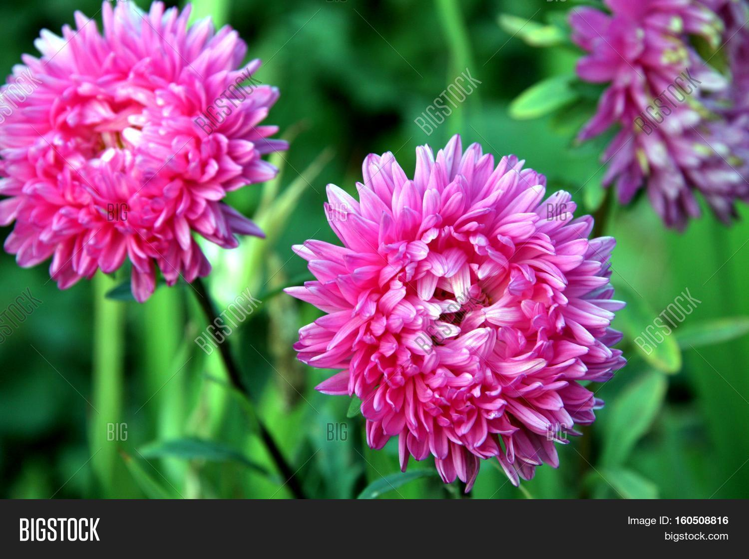 Autumn Flowers Pink Image Photo Free Trial Bigstock