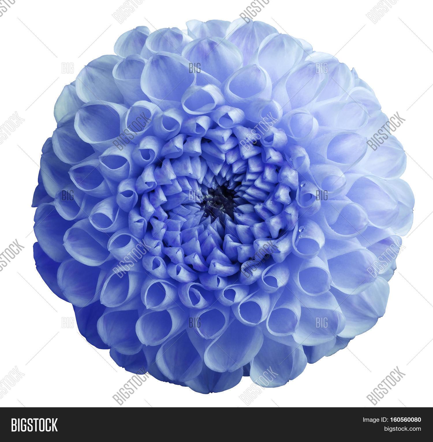 Flower Blue Dahlia Image Photo Free Trial Bigstock