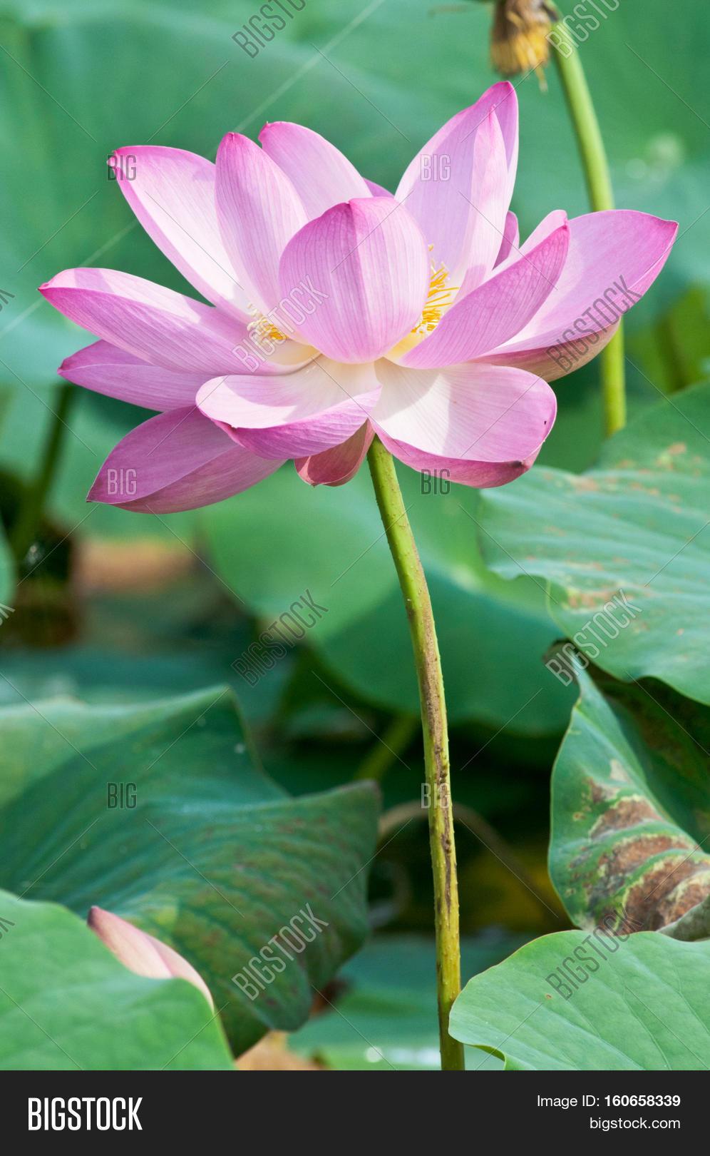 Komarov Lotus Relict Image Photo Free Trial Bigstock