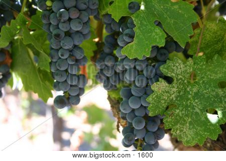 wine, grapes, vineyard, vine, cabernet, harvest, Napa, valley, red wine, syrah, pinot, zinfandel, burgundy, growing poster