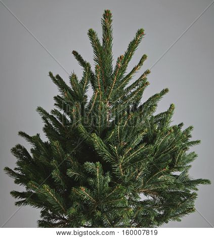 Close up shot of a beautiful green Christmas tree without decorations isolated on light gray