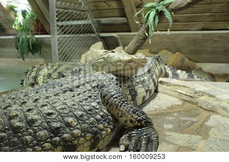 Saltwater crocodile/Saltwater crocodiles relax in terrarium by pool.