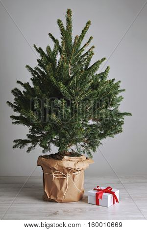 Lush and green unadorned Christmas tree in a pot with one present in white square box with a red sateen ribbon on light gray background