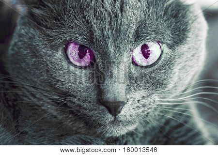 Portrait of adult gray cat with lilla eyes
