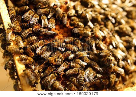 Queen bee in a beehive laying eggs supported by worker bees. Apiculture.