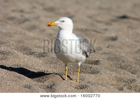 Atlantic Gull On The Beach